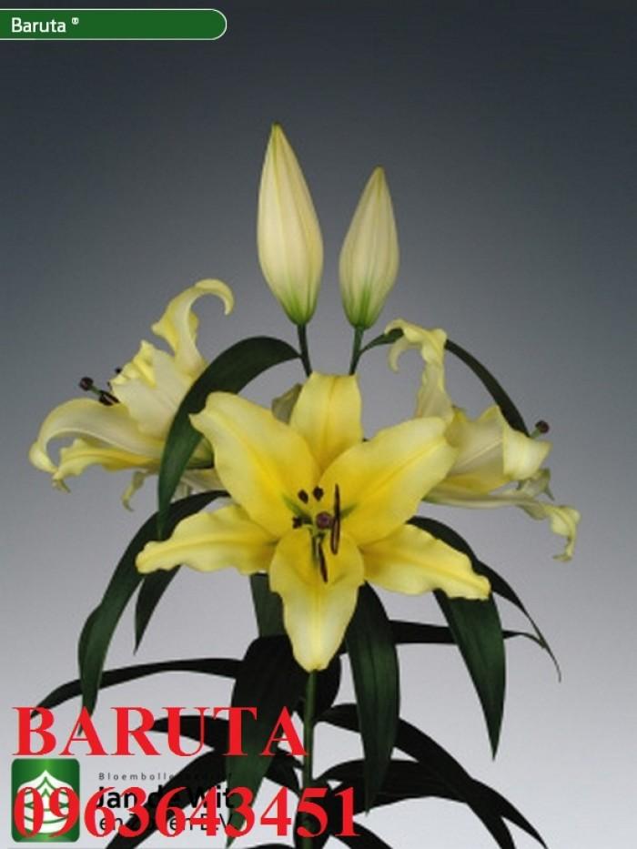 Chuyên sỉ, lẻ củ giống hoa ly tết, củ hoa ly đủ màu, số lượng lớn, chất lượng cao, giao toàn quốc8
