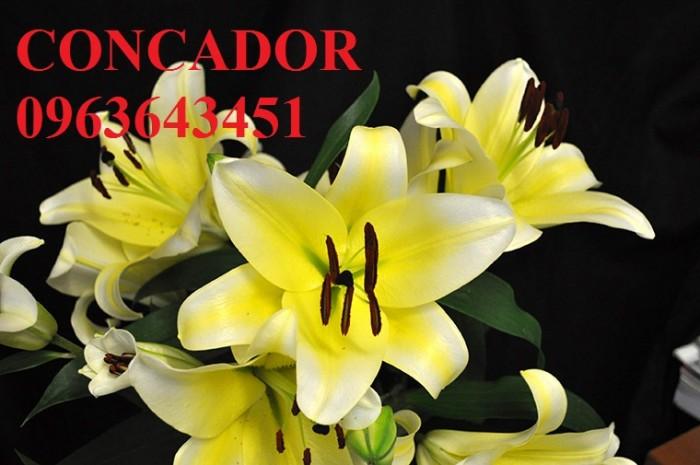 Chuyên sỉ, lẻ củ giống hoa ly tết, củ hoa ly đủ màu, số lượng lớn, chất lượng cao, giao toàn quốc10