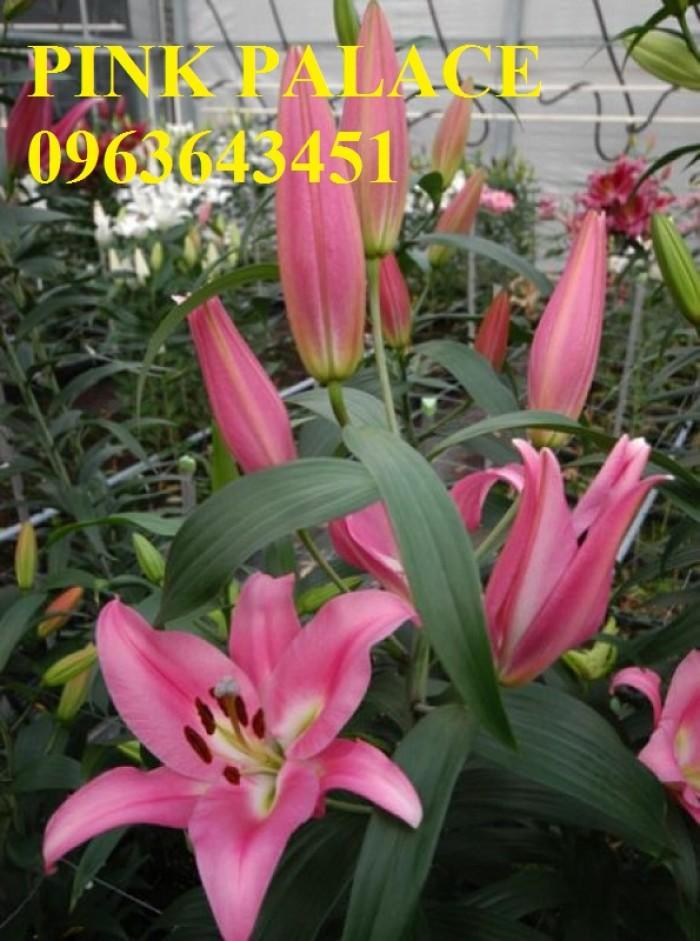 Chuyên sỉ, lẻ củ giống hoa ly tết, củ hoa ly đủ màu, số lượng lớn, chất lượng cao, giao toàn quốc12