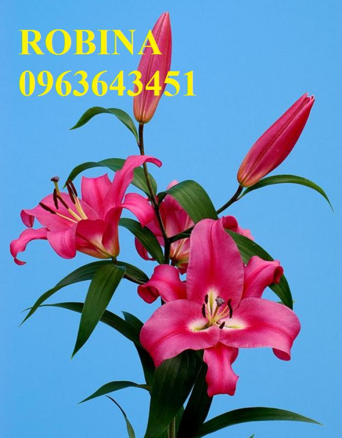 Chuyên sỉ, lẻ củ giống hoa ly tết, củ hoa ly đủ màu, số lượng lớn, chất lượng cao, giao toàn quốc13