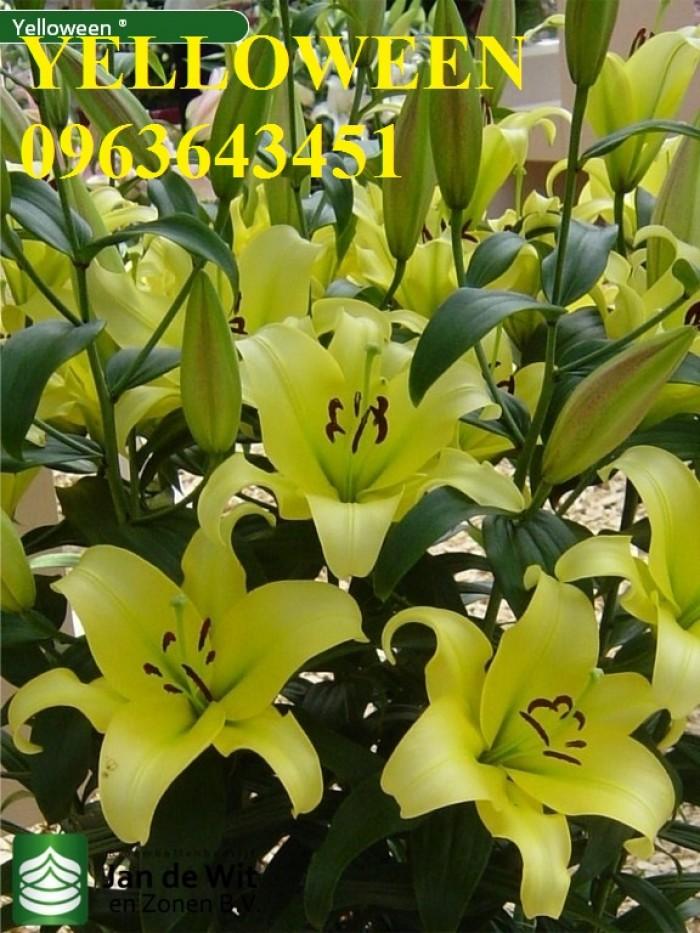 Chuyên sỉ, lẻ củ giống hoa ly tết, củ hoa ly đủ màu, số lượng lớn, chất lượng cao, giao toàn quốc14