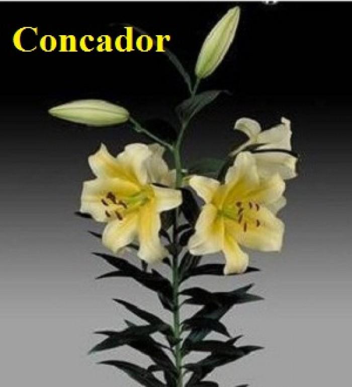 Chuyên sỉ, lẻ củ giống hoa ly tết, củ hoa ly đủ màu, số lượng lớn, chất lượng cao, giao toàn quốc15