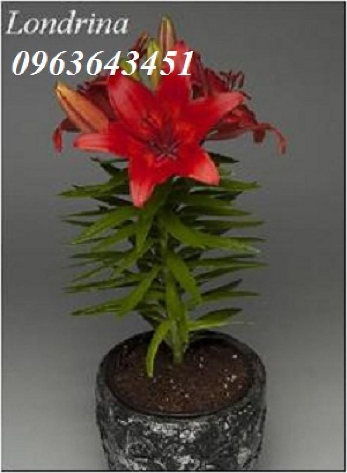 Chuyên sỉ, lẻ củ giống hoa ly tết, củ hoa ly đủ màu, số lượng lớn, chất lượng cao, giao toàn quốc18