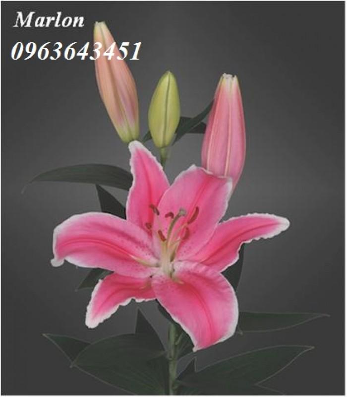 Chuyên sỉ, lẻ củ giống hoa ly tết, củ hoa ly đủ màu, số lượng lớn, chất lượng cao, giao toàn quốc19