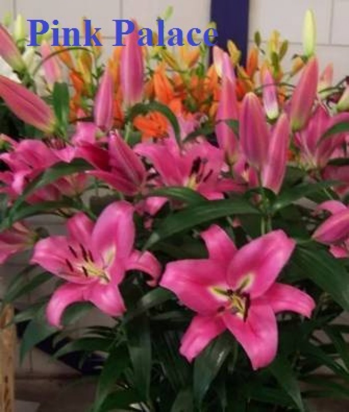 Chuyên sỉ, lẻ củ giống hoa ly tết, củ hoa ly đủ màu, số lượng lớn, chất lượng cao, giao toàn quốc22