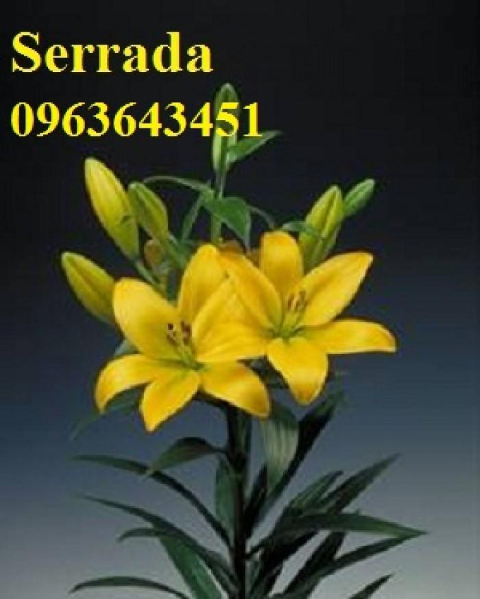 Chuyên sỉ, lẻ củ giống hoa ly tết, củ hoa ly đủ màu, số lượng lớn, chất lượng cao, giao toàn quốc24