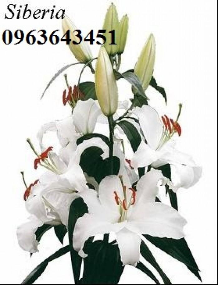 Chuyên sỉ, lẻ củ giống hoa ly tết, củ hoa ly đủ màu, số lượng lớn, chất lượng cao, giao toàn quốc25