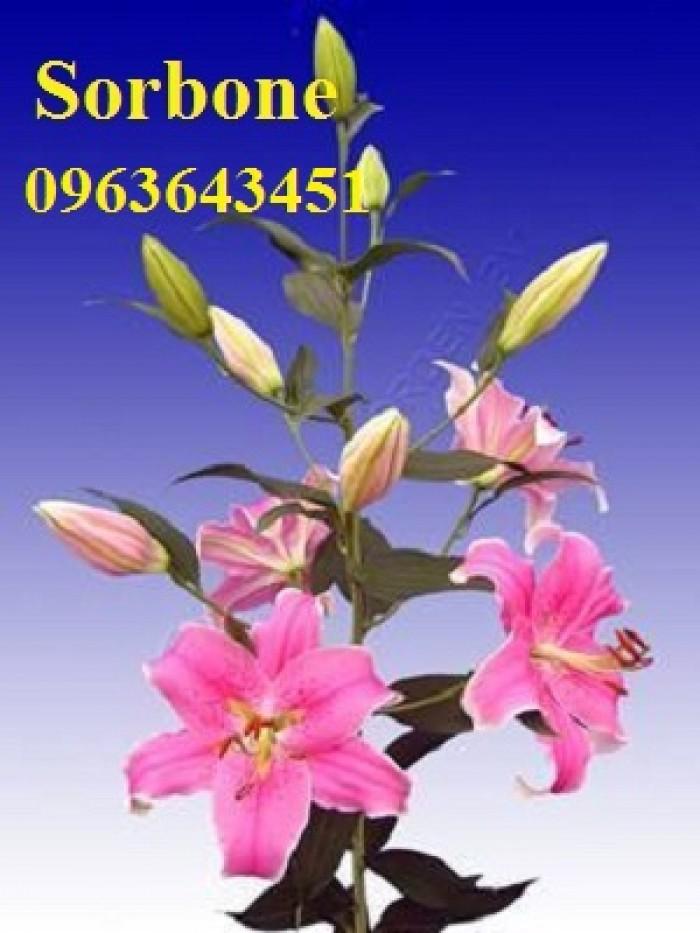 Chuyên sỉ, lẻ củ giống hoa ly tết, củ hoa ly đủ màu, số lượng lớn, chất lượng cao, giao toàn quốc27