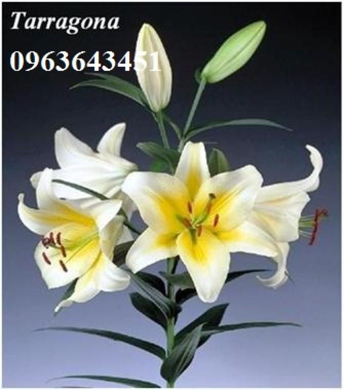 Chuyên sỉ, lẻ củ giống hoa ly tết, củ hoa ly đủ màu, số lượng lớn, chất lượng cao, giao toàn quốc28