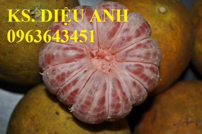 Chuyên cung cấp cây giống bưởi đỏ Tân Lạc, bưởi Hòa Bình, bưởi đào chuyên, bưởi đào đường0