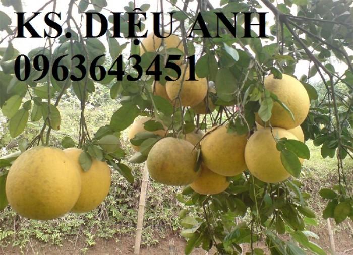 Chuyên cung cấp cây giống bưởi đỏ Tân Lạc, bưởi Hòa Bình, bưởi đào chuyên, bưởi đào đường2