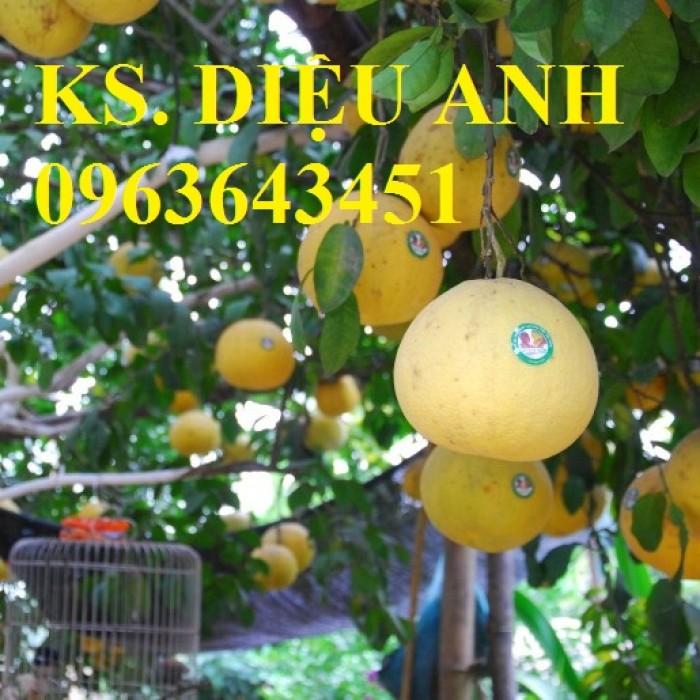 Chuyên cung cấp cây giống bưởi đỏ Tân Lạc, bưởi Hòa Bình, bưởi đào chuyên, bưởi đào đường4