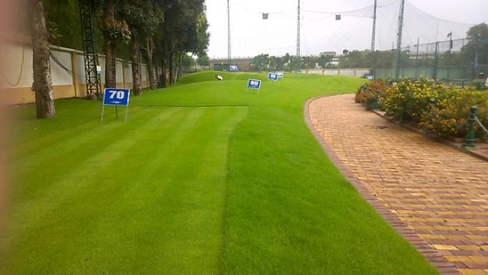 Cỏ golf1