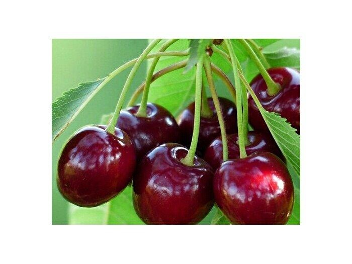 Cây Cherry úc  ( Anh đào )