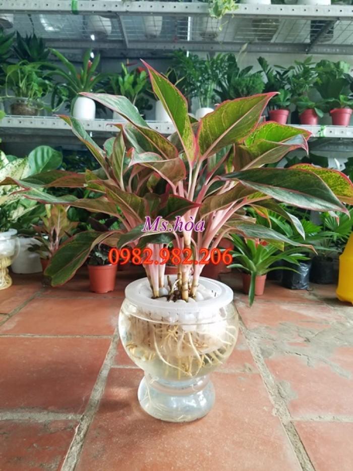 Cây thủy sinh để bàn với vẻ đẹp lãng mạn, sang trọng, đẹp từ thân, rễ, cành, lá7
