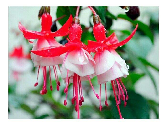 Hoa lồng đèn hồng2