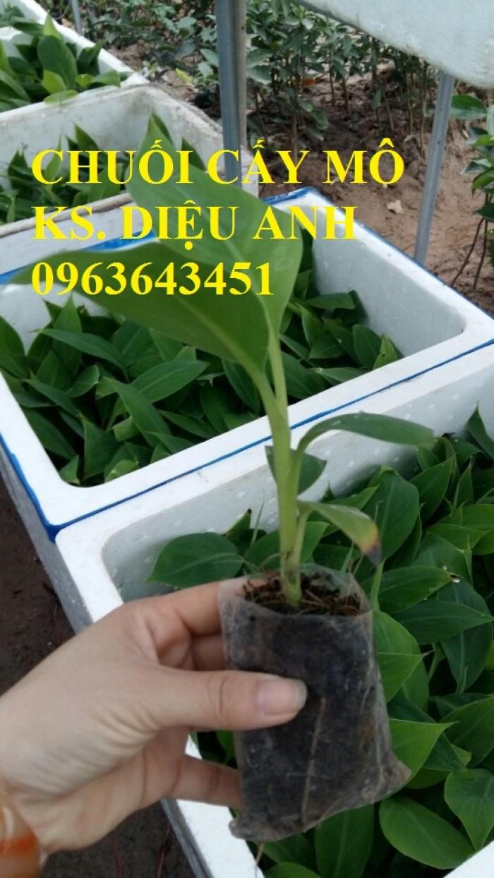 Chuyên cung cấp cây giống chuối nuôi cấy mô: Chuối tây Thái, chuối mốc Thái, chuối sứ, chuối xiêm2