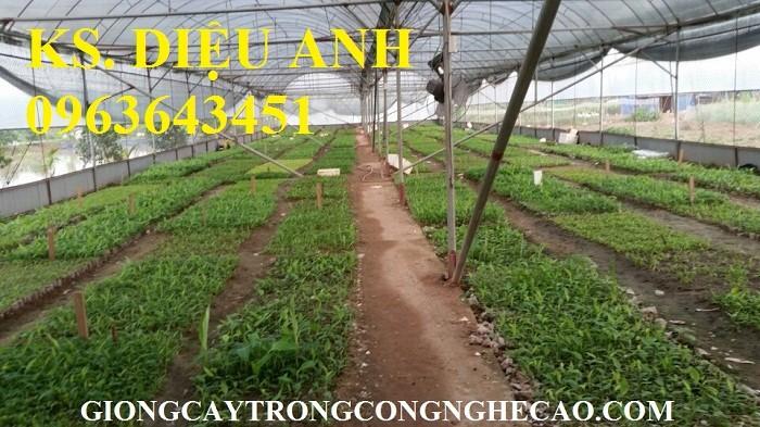 Chuyên cung cấp cây giống chuối nuôi cấy mô: Chuối tây Thái, chuối mốc Thái, chuối sứ, chuối xiêm3