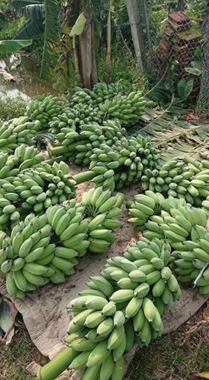 Chuyên cung cấp cây giống chuối nuôi cấy mô: Chuối tây Thái, chuối mốc Thái, chuối sứ, chuối xiêm8