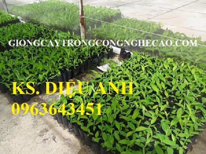Chuyên cung cấp cây giống chuối nuôi cấy mô: Chuối tây Thái, chuối mốc Thái, chuối sứ, chuối xiêm10