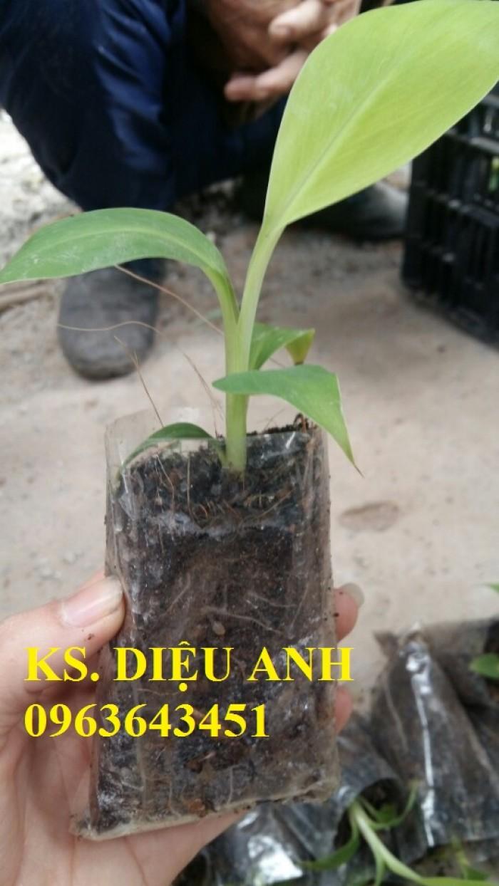 Chuyên cung cấp cây giống chuối nuôi cấy mô: Chuối tây Thái, chuối mốc Thái, chuối sứ, chuối xiêm14