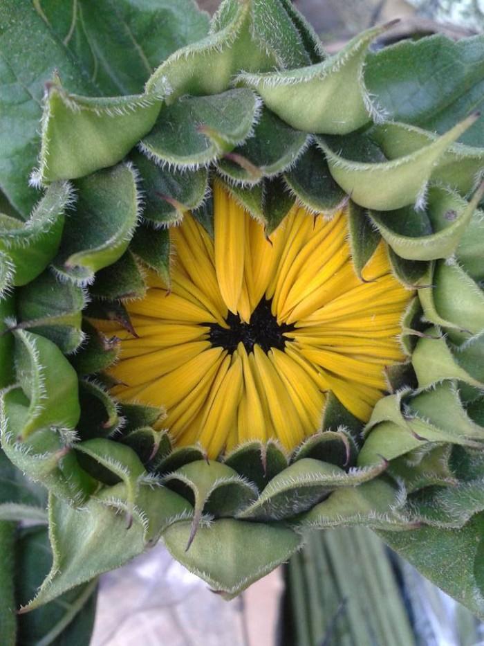 Hạt giống hoa hướng dương Nhật cắt cành SAKATA