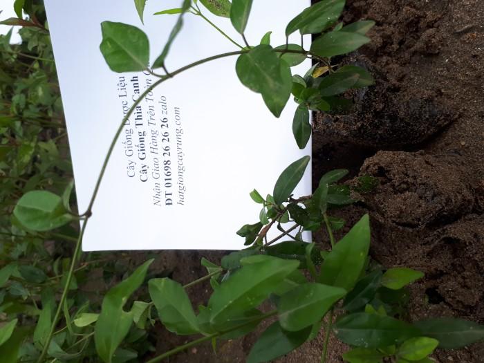 Cây giống thìa canh cây thuốc quý1