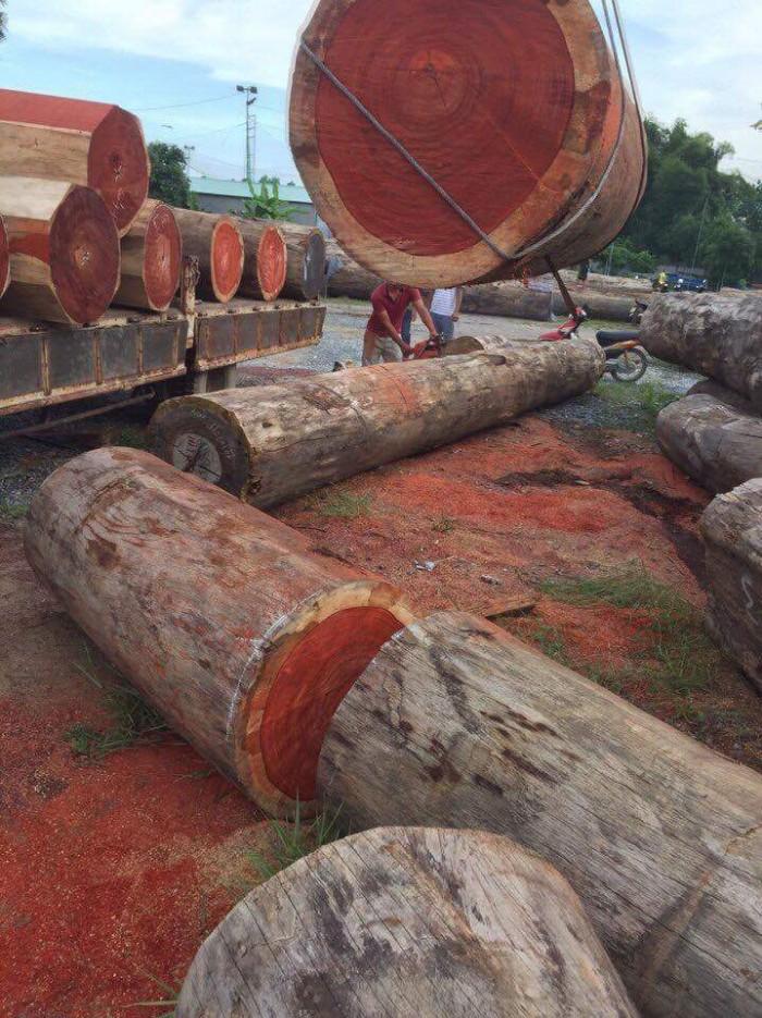 Lục bình gỗ hương nam phi