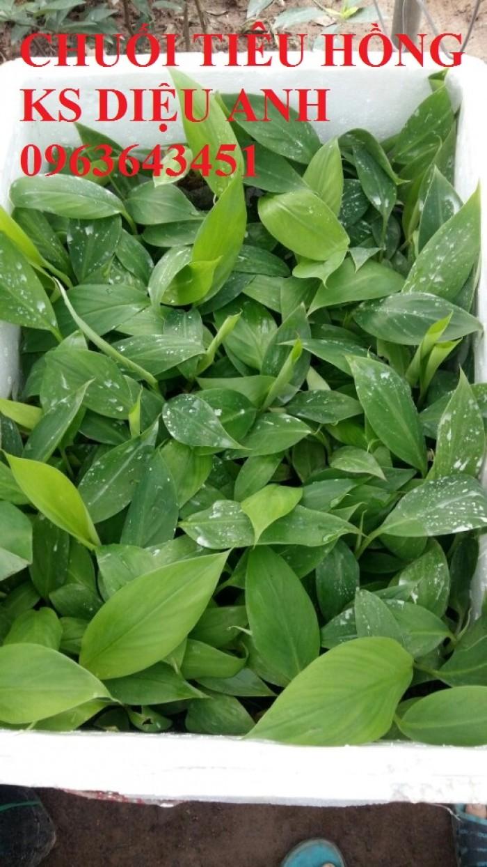 Chuyên cung cấp cây giống chuối cấy mô: chuối tiêu hồng, chuối già lùn, chuối già nam Mỹ, chuối laba7