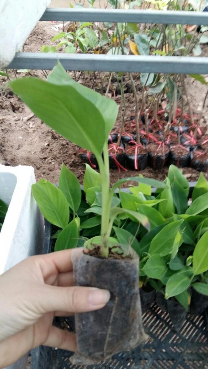 Chuyên cung cấp cây giống chuối cấy mô: chuối tiêu hồng, chuối già lùn, chuối già nam Mỹ, chuối laba8