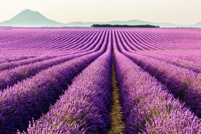 Oải hương là một trong những loài thảo mộc thiêng liêng giữa mùa hè, và nó còn tượng trưng cho điều may mắn. Và nếu rắc tung những bông oải hương khô trong nhà, chúng sẽ mang lại sự bình yên, hoà thuận.