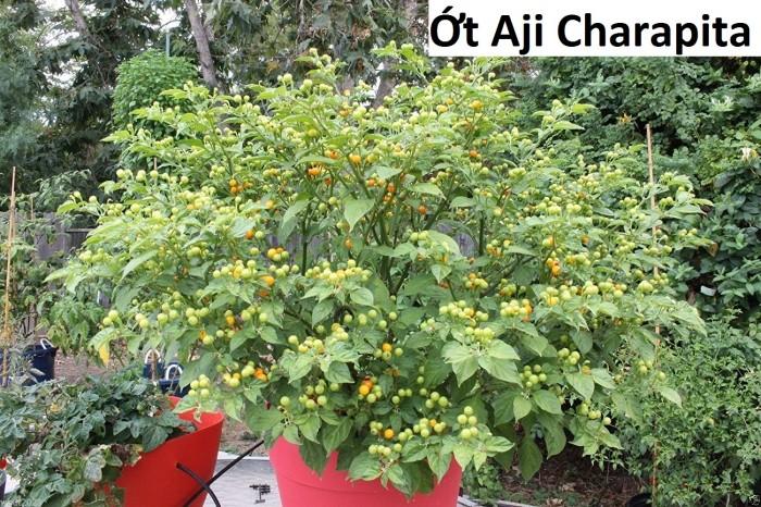 Ớt Aji Charapita