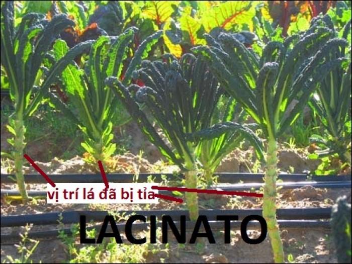 Cải xoăn khổng lồ Lacinato - có vị ngọt tinh tế, 1 chút cay và đắng, là loại được ưa chuộng nhất ở Ý.