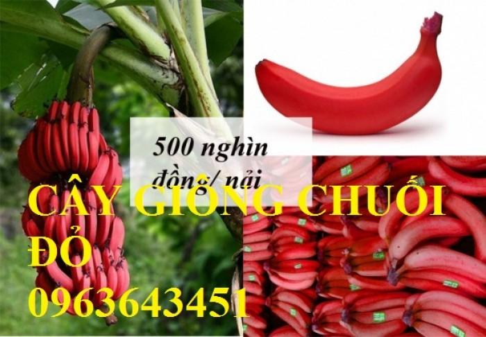 Chuyên cây giống chuối đỏ đăcca, chuối tiêu đỏ, chuối đỏ úc, chuối cấy mô đồng đều, sạch bệnh, sl ớn4