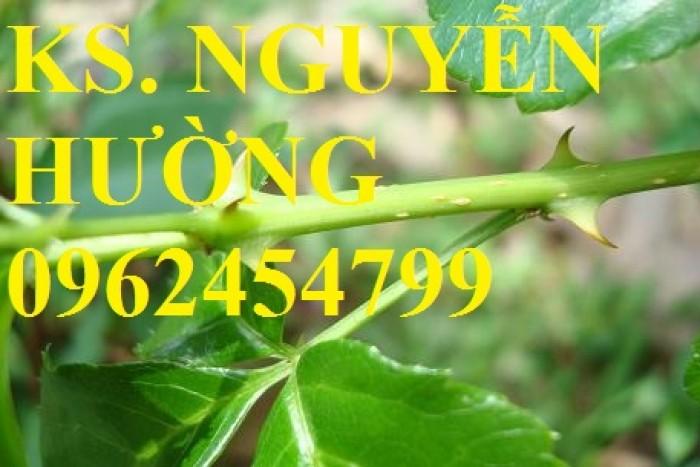 Cung cấp giống cây ngũ gia bì gai, chuẩn giống, giá tốt, giao cây toàn quốc.11