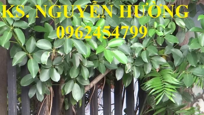 Cung cấp giống cây ngũ gia bì gai, chuẩn giống, giá tốt, giao cây toàn quốc.12