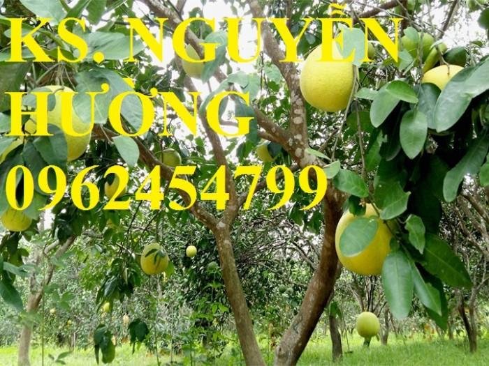 Cung cấp cây bưởi bô lô, cây bưởi siêu ngọt. Chuẩn giống, giá tốt, giao cây toàn quốc.7