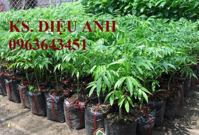 Chuyên sỉ, lẻ cây giống: giống cóc Thái Lan, cóc bao tử, cây cóc giống, giao cây toàn quốc, hỗ trợ kỹ thuật6