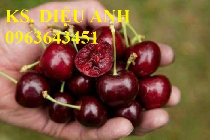 Chuyên cây giống cherry: cherry anh đào, cherry Úc, cherry Brazil, cherry nhiệt đới, cherry Mỹ chuẩn6