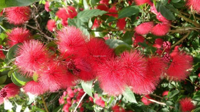 Cây Kiều Hùng đỏ đẹp và thu hút