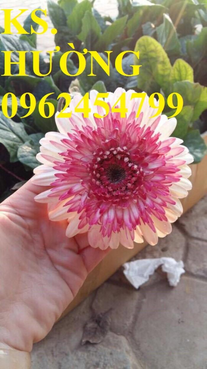 Cung cấp Cây giống đồng tiền cấy mô, hoa đồng tiền cánh kép siêu nụ (lùn, trung, cao)7