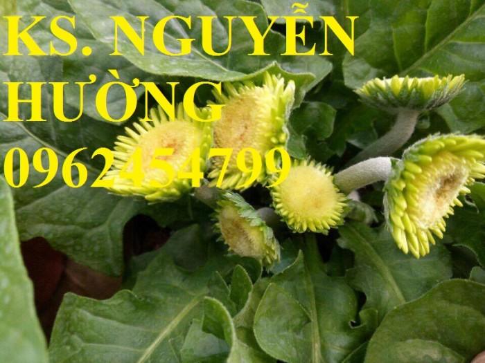 Cung cấp Cây giống đồng tiền cấy mô, hoa đồng tiền cánh kép siêu nụ (lùn, trung, cao)10