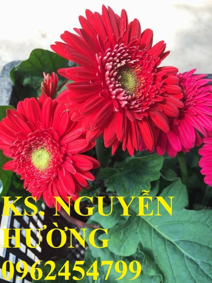 Cung cấp Cây giống đồng tiền cấy mô, hoa đồng tiền cánh kép siêu nụ (lùn, trung, cao)12