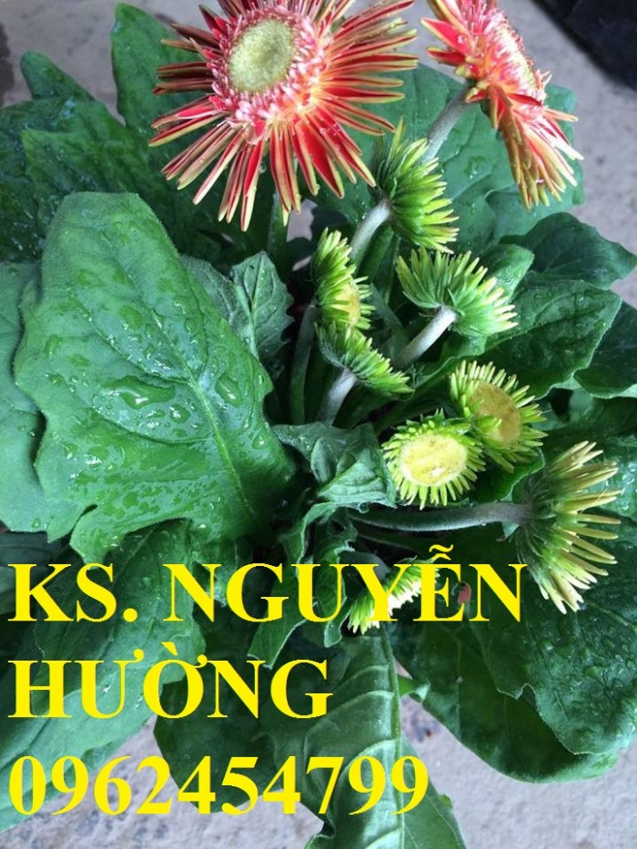 Cung cấp Cây giống đồng tiền cấy mô, hoa đồng tiền cánh kép siêu nụ (lùn, trung, cao)13