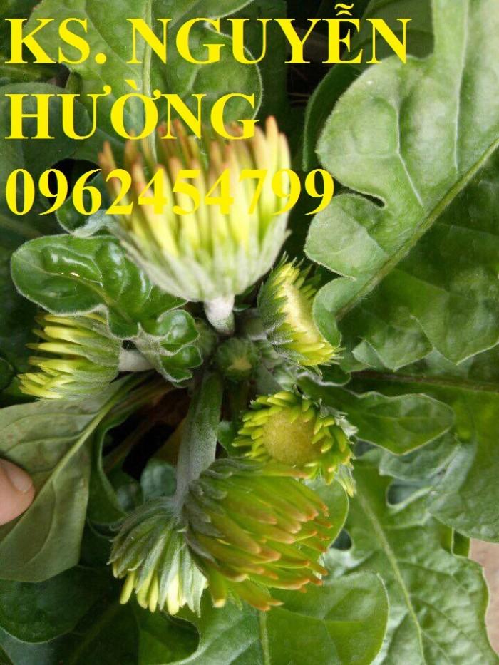 Cung cấp Cây giống đồng tiền cấy mô, hoa đồng tiền cánh kép siêu nụ (lùn, trung, cao)15