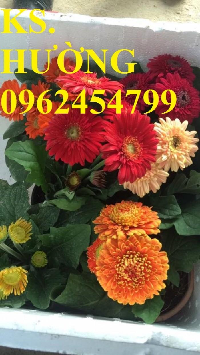 Cung cấp Cây giống đồng tiền cấy mô, hoa đồng tiền cánh kép siêu nụ (lùn, trung, cao)18