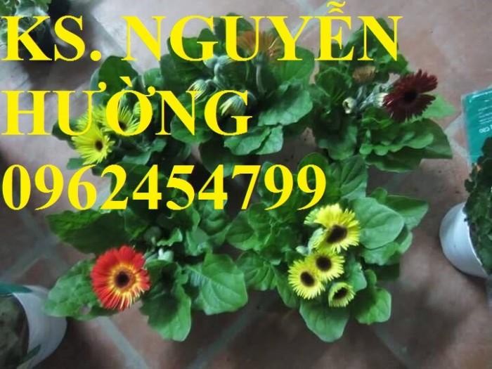 Cung cấp Cây giống đồng tiền cấy mô, hoa đồng tiền cánh kép siêu nụ (lùn, trung, cao)17