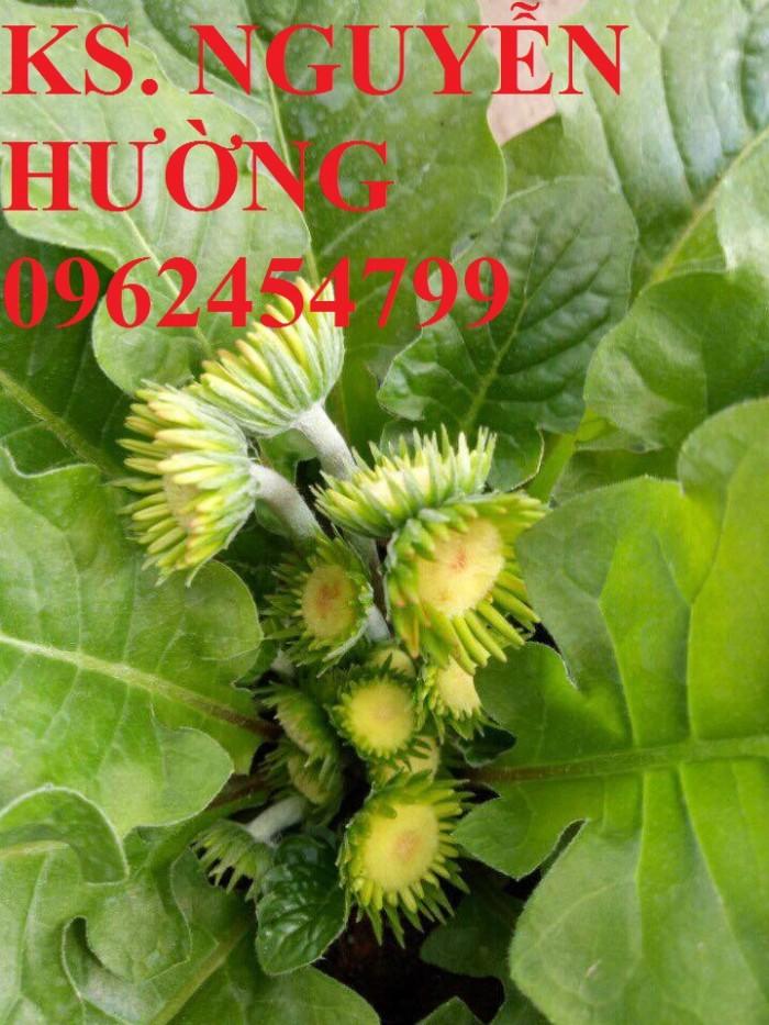 Cung cấp Cây giống đồng tiền cấy mô, hoa đồng tiền cánh kép siêu nụ (lùn, trung, cao)21