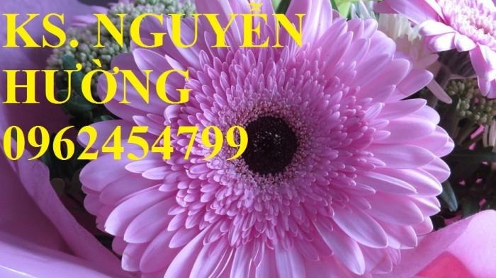 Cung cấp Cây giống đồng tiền cấy mô, hoa đồng tiền cánh kép siêu nụ (lùn, trung, cao)22