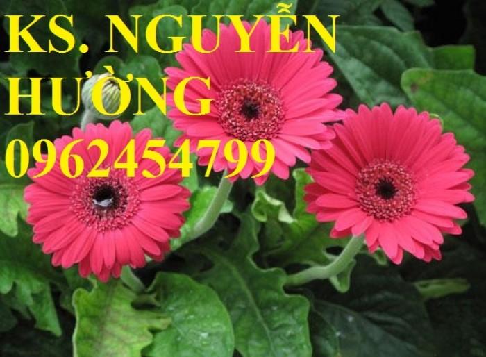 Cung cấp Cây giống đồng tiền cấy mô, hoa đồng tiền cánh kép siêu nụ (lùn, trung, cao)23